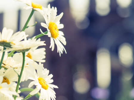 Beautiful white daisy flowers in sunny day. Abstract background with floral design