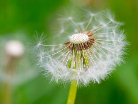 White fluffy dandelion on a soft creamy green background. Summer time concept. Close up view, selective focus image 写真素材