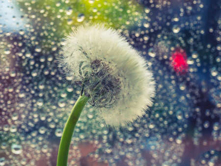 White fluffy dandelion on a background of wet window pane. Summer time rainy days concept.