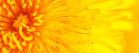 Beautiful Yellow Dandelion Close Up Macro image. Natural summer tine background. Foto de archivo
