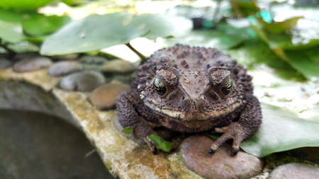 Close up front of toad on lotus leaf.