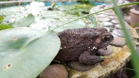 Close up beside of toad on lotus leaf.