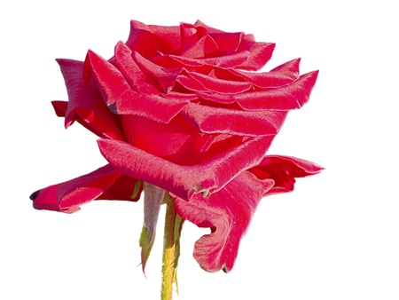 Big red rose isolated on white background photo