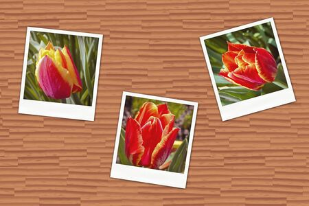 Illustration of an old photos with tulips on wooden wall illustration