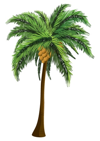 Tropical coconut palm tree with coconut on white background. Vector