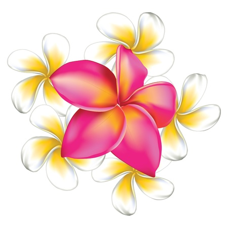 Frangipani, plumeria big pink and small white flowers isolated.