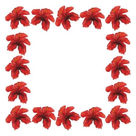 beautiful red hibiscus flower: Marco floral hecha de flores de hibisco rojo sobre fondo blanco.
