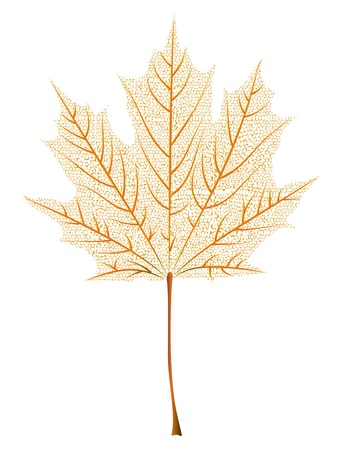 Autumn orange maple leaf skeleton on white background. Vector