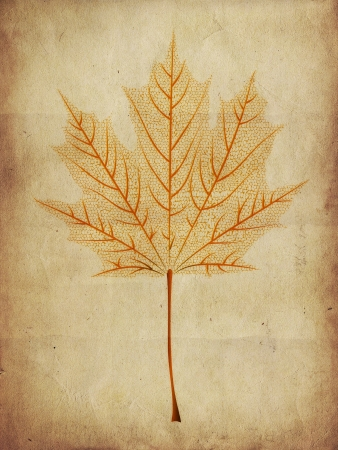 Autumn orange maple leaf skeleton on paper background. photo