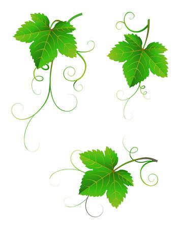 신선한 녹색 포도 흰색 배경에 나뭇잎. 일러스트