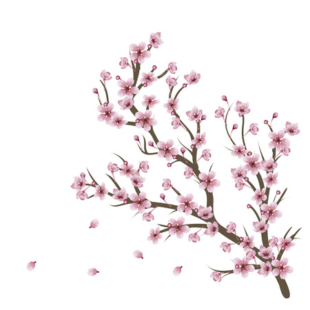 Soft pink cherry blossom flowers on branch over white background. Illustration