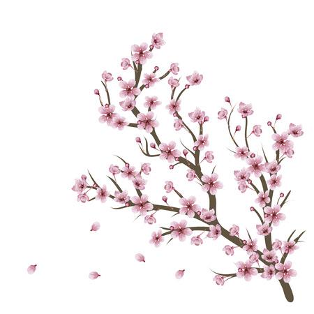 arbol de cerezo: Suaves flores de cerezo rosadas en rama sobre fondo blanco. Vectores