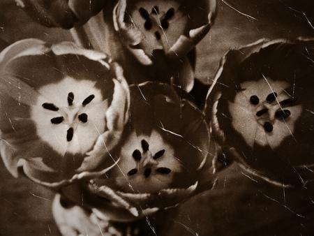 Retro styled photo of tulip flowers, grunge background. photo