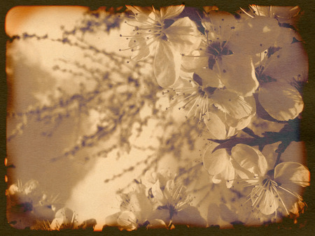 Vintage background with white plum blossoms, grunge effect. photo