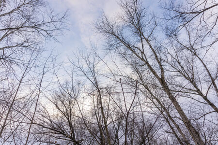 sky brunch: Winter leafless birch tree branches over blue sky with clouds.