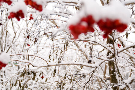 rowan tree: Branches of mountain ash, rowan tree in snow, white background. Stock Photo