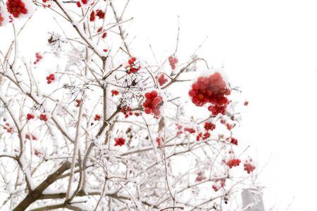 Branches of mountain ash, rowan tree in snow, white . photo