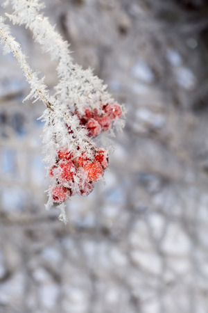 흰 서리: Red rowan berries with ice crystals, winter morning hoarfrost.