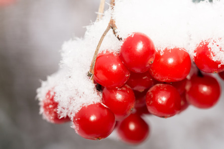 Close up of red rowan berries with ice crystals, winter hoarfrost. photo