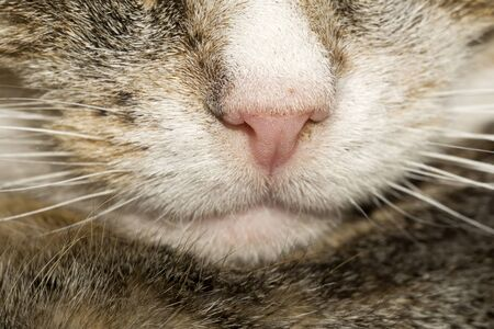 nose close up: Close up photo of tabby cat nose as background.