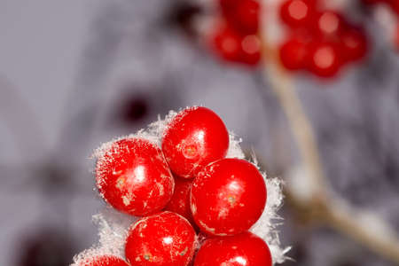 hoarfrost: Close up of red rowan berries with ice crystals, winter hoarfrost.
