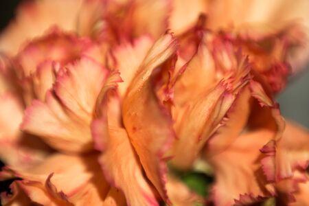 clove: Close up of orange color clove flower.