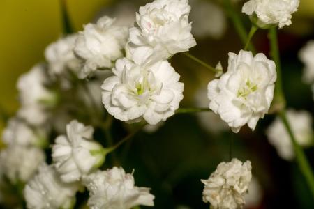 Kleine Weiße Blumen, Schleierkraut (Baby Atem) Im Bouquet ...