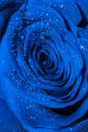 blue rose: Abstract blue rose with drops of water, macro photo. Stock Photo