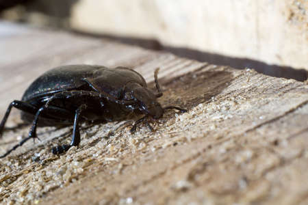 pulse trace: Big beetle of black color on wooden background.