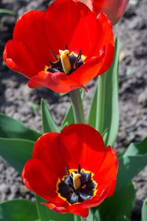 colour in: Tulip flower of red color in the garden, spring background.