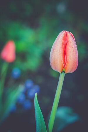 colour in: Tulip flower of red color in the garden, vintage spring background.