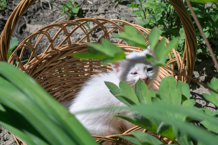 baby  pussy: Adorable white kitten sitting in the woven basket.