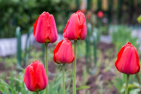 colour in: Tulip flowers of red color in the garden, spring background. Foto de archivo