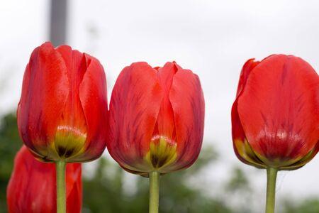 color in: Tulip flowers of red color in the garden, spring background. Foto de archivo