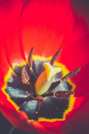 colour in: Tulip flower of red color in the garden Foto de archivo