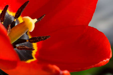 red tulip: Tulip flower of red color in the garden, macro photo. Stock Photo