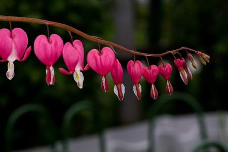 hemorragias: Flor rosada del coraz�n sangrante, cerca de fondo de la foto.