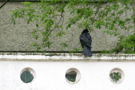 black raven: Big wild black raven resting in the summer park.