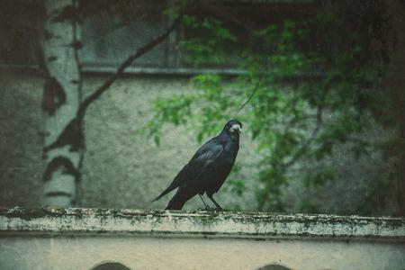 black raven: Big wild black raven resting in the park, vintage background.