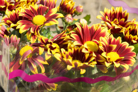 macro flowers: Colorful aster flowers in a bouquet, macro background.