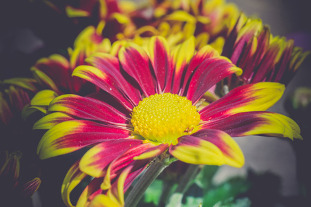 aster: Colorful aster flowers in a bouquet, vintage macro background.