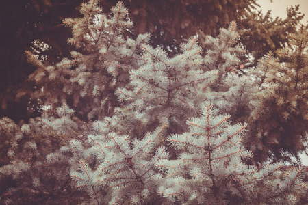 fur tree: Light blue branches of a fur tree, close up photo with vintage colors. Stock Photo
