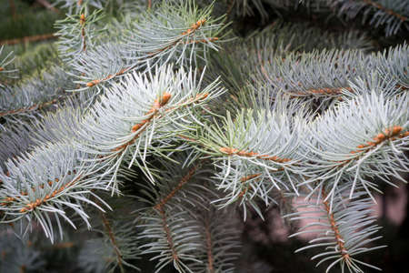 fur tree: Light blue branches of a fur tree, close up photo. Stock Photo