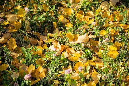 lays: Colorful fallen autumn leaves lays on green grass.