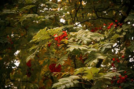 european rowan: Bright red mountain ash on a branch in autumn.