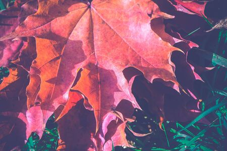 lays: Colorful fallen autumn leaves lays on green grass, vintage colors.