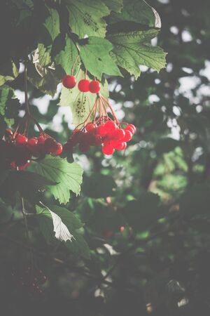 ash berry: Branch of rowan berries, mountain ash tree with ripe berry, vintage colors.
