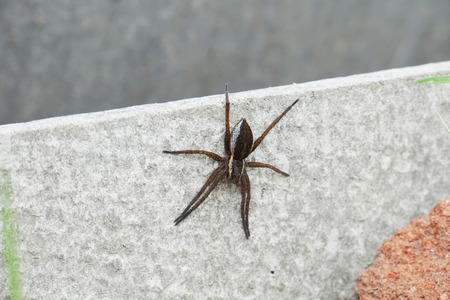 poisonous insect: Big garden spider with yellow stripes on grey surface.