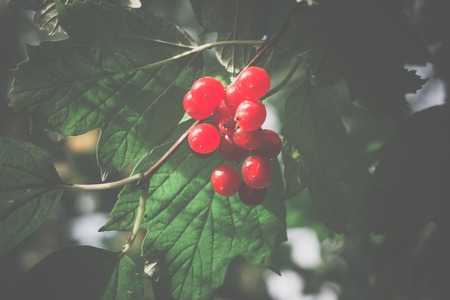 ash tree: Branch of rowan berries, mountain ash tree with ripe berry, vintage colors.