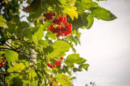 ash berry: Branch of rowan berries, mountain ash tree with ripe berry.
